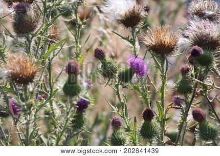 Bull Thistle is a prickly wildflower which most people consider an annoying weed.