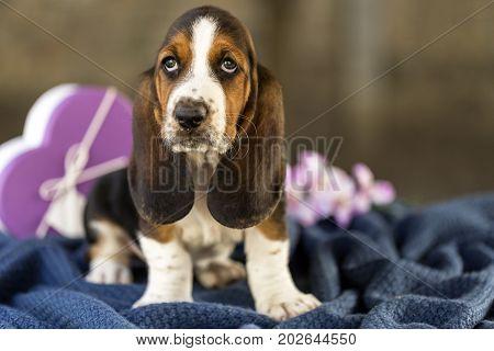 Gently Basset Hound Puppy
