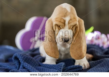 The Sweet And Gentle Puppy Basset Hound