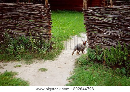 Traditional Ukrainian village. Countryside house with wicker fence and running rabbit in summer evening with green luscious grass and neglected garden. Eco living concept. Green tourism.