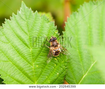 Big Yellow And Black  Belted Hover Fly On Green Leaf Volucella Zonaria