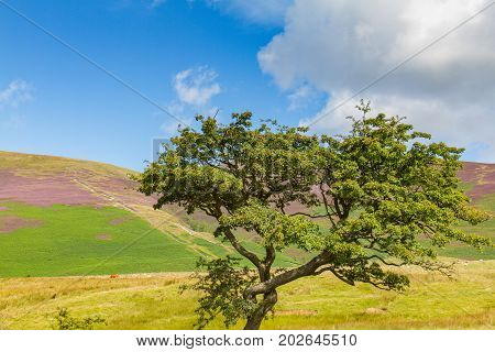 Tree In Latrigg Overlooking Keswick And Derwent Water, Cumbria, Uk