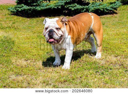 Bulldog looks ahead.  Bulldog stands on the grass.
