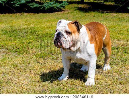 Bulldog looks aside.  Bulldog stands on the grass.