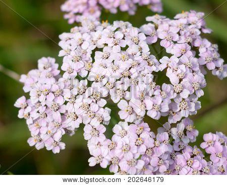 Close Up Bunch Of Yarrow Flowers Achillea Millefolium