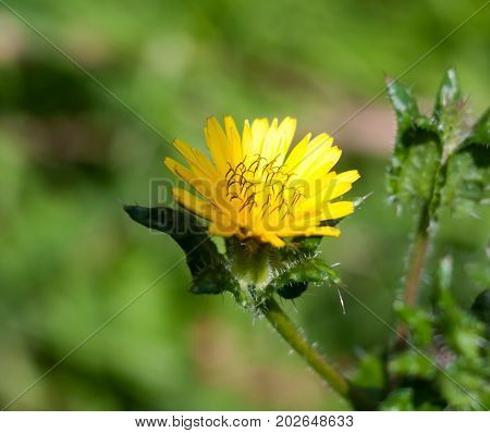 Flowering Yellow Dandelion Flower Head Taraxacum Officinale