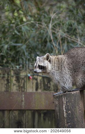 Raccoon, Washing Bear (procyon Lotor)