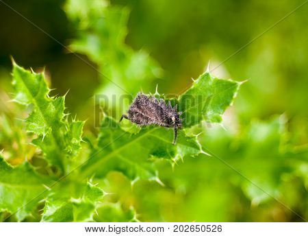 Hairy Dead Grey Leaf On Green Spiky Leaf Plant