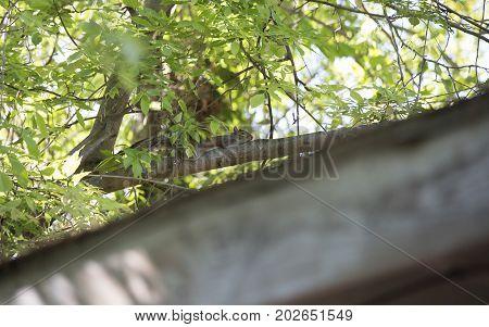 Eastern gray squirrel (Sciurus carolinensis) lying flat against a limb in a defensive posture
