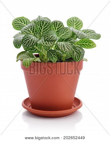 House Plant Fittonia