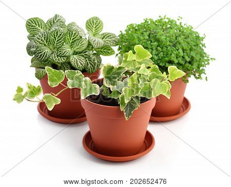 House Plants Fittonia, Hedera And Helxine