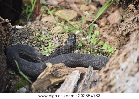 a large common water snake rests in a nook.