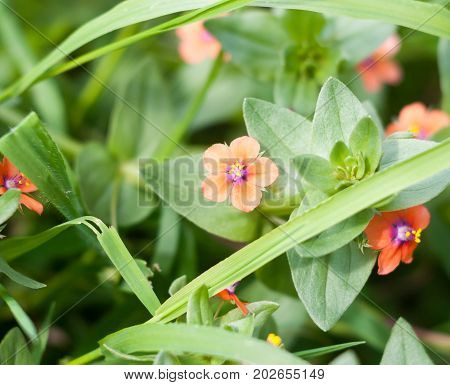 Small Beautiful Growing Red Scarlet Pimpernel On Floor Anagallis Arvensis