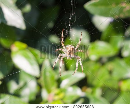 Spider On Web Spider On Web Outside  European Garden Spider Or Cross Orb-weaver