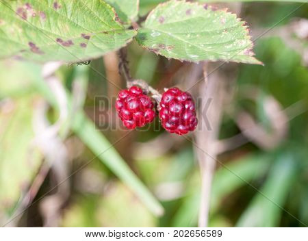 Two Small Red Raspberries Blackberries Bramble Bush Growing