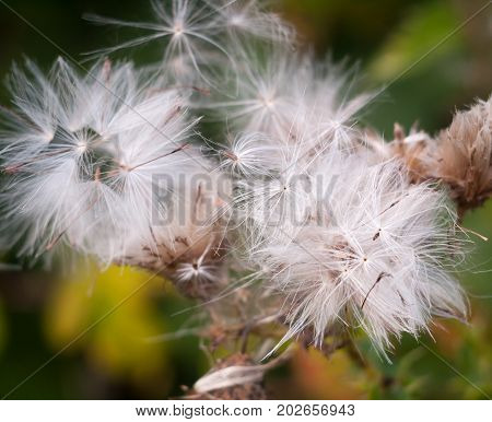 White Dispersed Seed Heads Of Dandelion Taraxacum Officinale