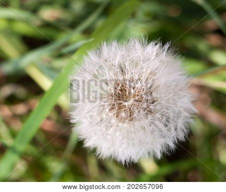 White Flower Head Seeds Full Of Dandelion Taraxacum Officinale