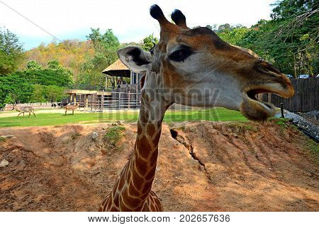 The graceful spotted giraffe lives in the zoo of a small city in southeastern Asia and pleases the audience with his grace, the beauty of height and strength.