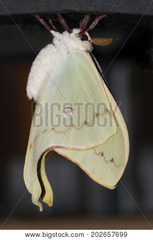Luna Moth (Actias luna) just emerging from a chrysalis