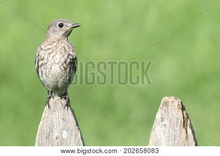 Baby Eastern Bluebird (Sialia sialis) on a fence with a green background