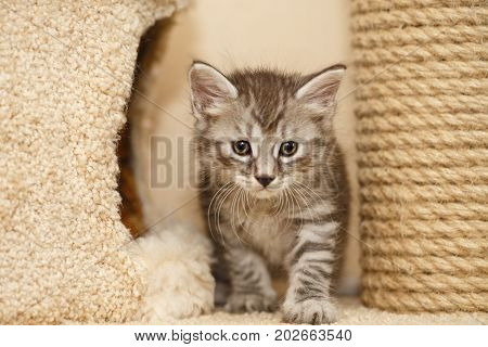 Lovely little kitty stands next to the cat's house. Pets. Hypoallergenic breed of cats