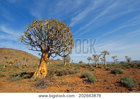 Desert landscape with with quiver trees (Aloe dichotoma), Northern Cape, South Africa
