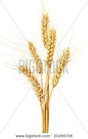 wheat isolated on white