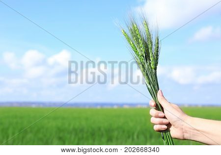 Hand of woman holding wisp of green wheat in the field