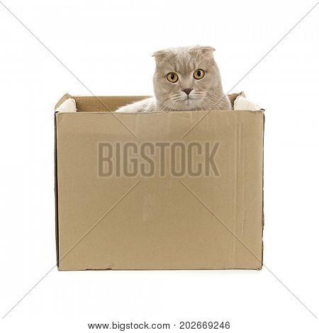 Scottish Fold Hiding behind Cardboard Box