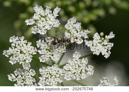 Black ant on white small flowers .
