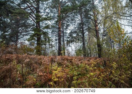 Autumn landscape with pine trees and fading grass