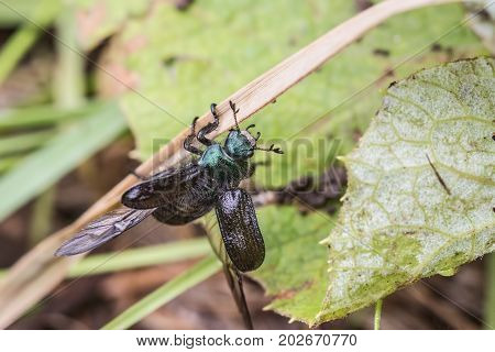 A beetle with open wings crawls along a blade of grass