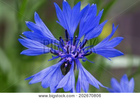 blue flower cornflower close-up on a blurred background