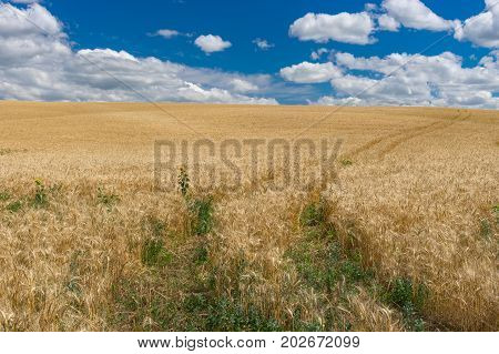 July landscape with blue sky white clouds and ripe wheat field in central Ukraine