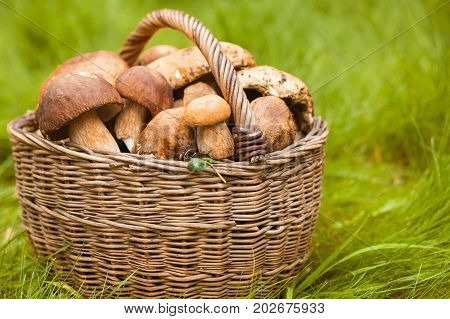 Close-up of large white mushrooms just collected in the forest lie in a wicker basket on green grass. Rustic still life of mushrooms and wicker baskets.