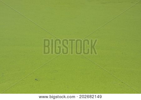 Duckweed on a pond. Green natural texture.