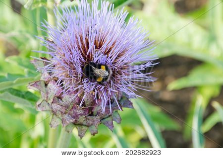 Bumble Bee feeding on Blue thistle flower