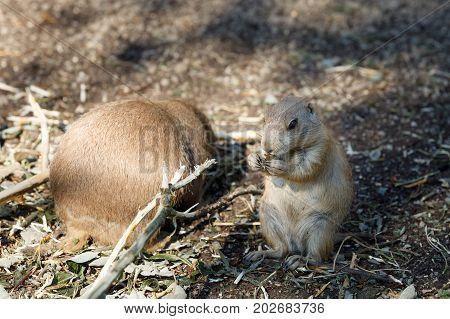 Black-tailed Prairie Dogs (cynomys Ludovicianus)