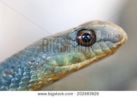 Montpellier Snake (malpolon Insignitus)