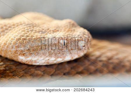 Milos Viper (macrovipera Schweizeri) Venomous Viper