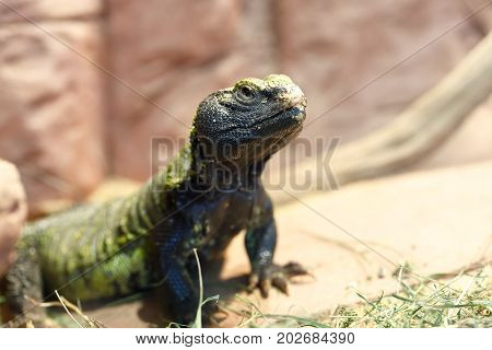 Uromastyx Is A Genus Of African And Asian Agamid Lizards