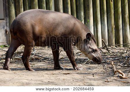 Endangered South American Tapir