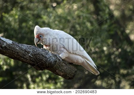 the long beaked corella is eating bark