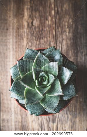 Stone rose succulent plant in a plant pot on wooden background. Top view, selective focus, copy space for text