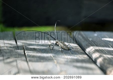 Black longhorn beetle (Cerambycid) with long mustache on a wooden surface close-up.