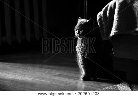 Black and white photo of British short hair cat lit from the one side.