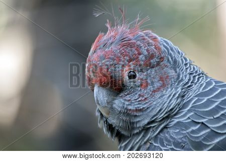 this is a close up of a gang-gang parrot