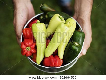 Hands holding mixed chilli organic produce from farm