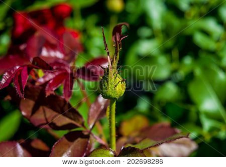 Photo of green rose bud on a green red foliage background in the garden