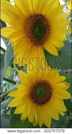 sunny sunflowers yellow outside garden blossoms rainy